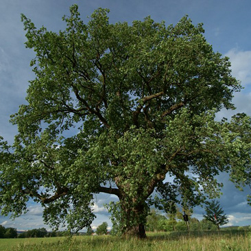 Quercus robur dub letní turovec táborsko